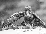 Golden Eagle 02 BW