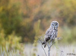 Great Grey Owl 05
