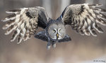 Great Grey Owl A21