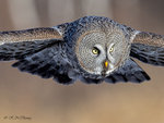 Great Grey Owl A38