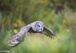 Great Grey Owl in Flight 08