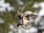 Hawk Owl with Catch 02
