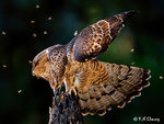 Honey Buzzard 61