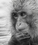 Monkey Portrait 01 BW
