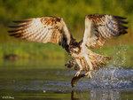 Osprey Caught a Fish 12