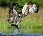 Osprey Caught a Fish 15