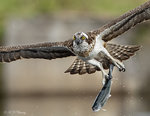 Osprey Preying 35
