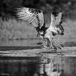 Osprey and Fish 8 BW