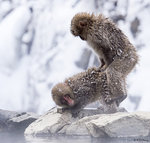 Snow Monkeys Mating 02