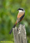 Long-tailed Shrikes �ĭI�B��
