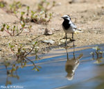 Eye-striped White Wagtail ���������o
