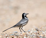 Eye-striped White Wagtail o