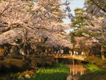 IMG_0273 夕陽為櫻花鍍了層金邊