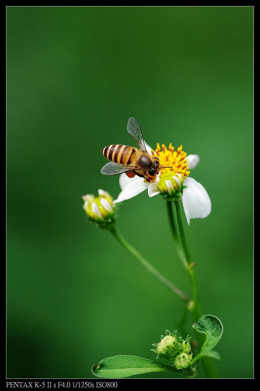 Pentax FA*200mm f4 macro 的生態拍攝