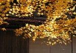 Golden Maple near Kanazawa, Japan