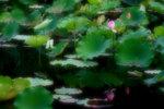 Lotus Pond in San Tin