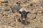 This pig chased us!