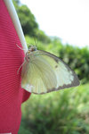 A white butterfly.