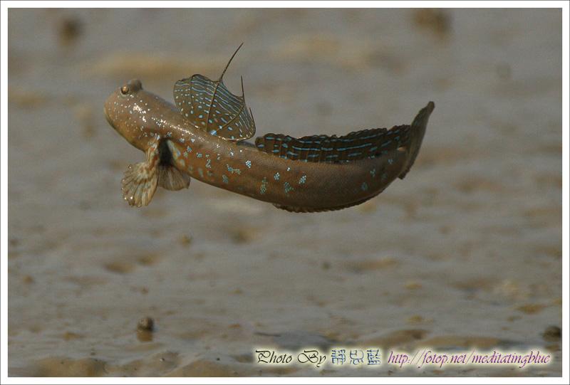IMAGE: http://images5.fotop.net/albums5/meditatingblue/mudskipper/IMG_2099.jpg