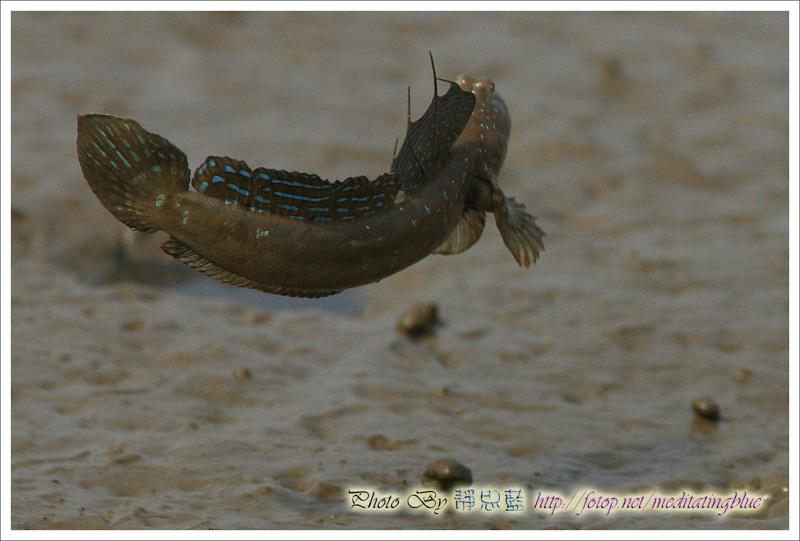 IMAGE: http://images5.fotop.net/albums5/meditatingblue/mudskipper/IMG_2122.jpg
