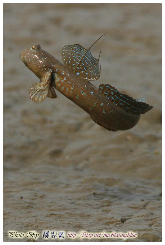 IMAGE: http://images5.fotop.net/albums5/meditatingblue/mudskipper/IMG_2162.jpg