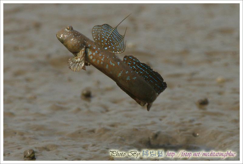 IMAGE: http://images5.fotop.net/albums5/meditatingblue/mudskipper/IMG_2167.jpg