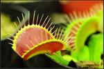 DSC_4513_nEO_IMG Dionaea B52