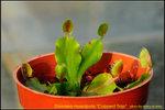 DSC_0120_nEO_IMG Dionaea muscipula Cupped Trap