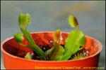 DSC_0122_nEO_IMG Dionaea muscipula Cupped Trap