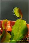 DSC_0125_nEO_IMG Dionaea muscipula Cupped Trap