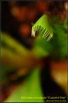 DSC_0127_nEO_IMG Dionaea muscipula Cupped Trap