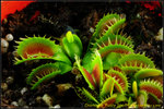 DSC_2433_nEO_IMG Dionaea Fuzzy Tooth