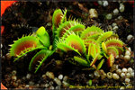 DSC_2434_nEO_IMG Dionaea Fuzzy Tooth