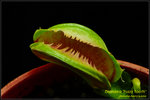 DSC_4359_nEO_IMG Dionaea Fuzzy Tooth