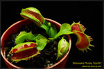 DSC_4362_nEO_IMG Dionaea Fuzzy Tooth