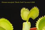 Dionaea_muscipula_Sharks_Teeth_1