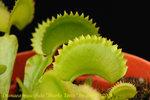 Dionaea_muscipula_Sharks_Teeth_2
