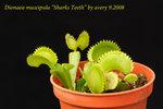 Dionaea_muscipula_Sharks_Teeth_3