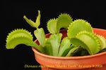 Dionaea_muscipula_Sharks_Teeth_4