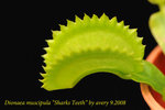 Dionaea_muscipula_Sharks_Teeth_5