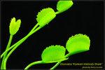 DSC_4567_nEO_IMG Dionaea Korean Melody Shark