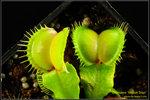 DSC_5495_nEO_IMG Dionaea Moon Trap