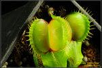 DSC_5496_nEO_IMG Dionaea Moon Trap