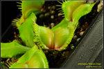 DSC_5498_nEO_IMG Dionaea Moon Trap