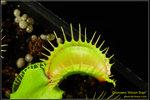 DSC_5501_nEO_IMG Dionaea Moon Trap
