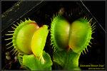 DSC_5504_nEO_IMG Dionaea Moon Trap