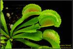 DSC_5433_nEO_IMG Dionaea Whale