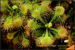 DSC_4703_nEO_IMG Drosera kaieteurensis - Chimanta Tepui