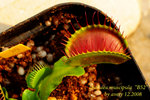 Dionaea muscipula 1