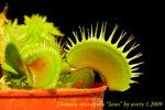 Dionaea muscipula Jaws 1